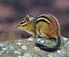 Chipmunk, Eastern. 2020.7.26#5531.2. Columbia County Pennsylvania. A great photo by Guy J.