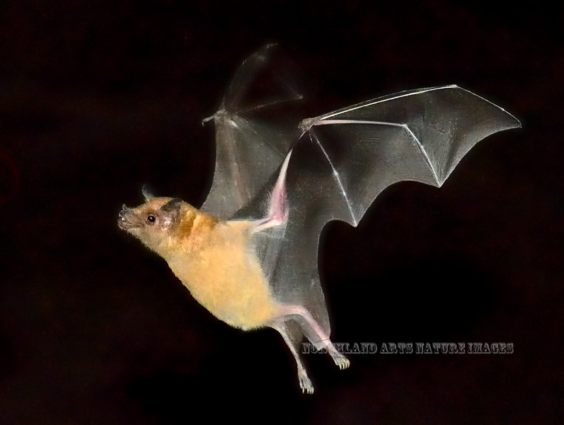 Bat, Lesser Long-nosed. Pima County Arizona. #104.1737.