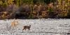 Lynx, Canadian 2012.9.12#024. Mile 10, Denali Park Alaska.