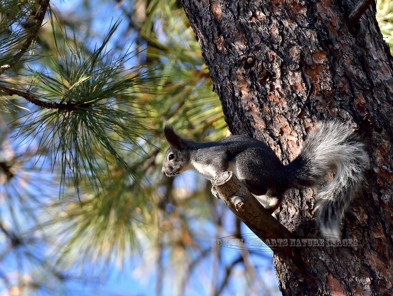 Squirrel, Abert's 2018.11.2#136. Mingus Mountain Arizona.