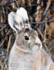 Hare, Snowshoe 2008.5.16#143. In the early stages of molting into it's summer pelage. Mile 14, Denali Park Alaska.