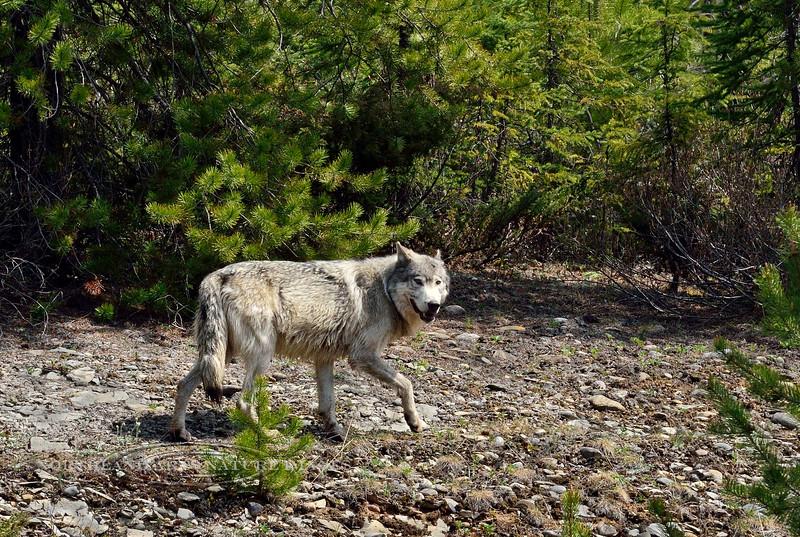 Wolf, Gray 2015.5.18#513. Near Vermilion Crossing, BC Canada.