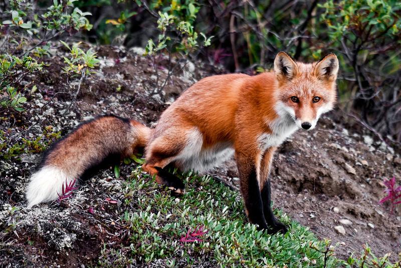 Fox, Red 2008.8.15#053. Near Cantwell, Alaska Range, Alaska.