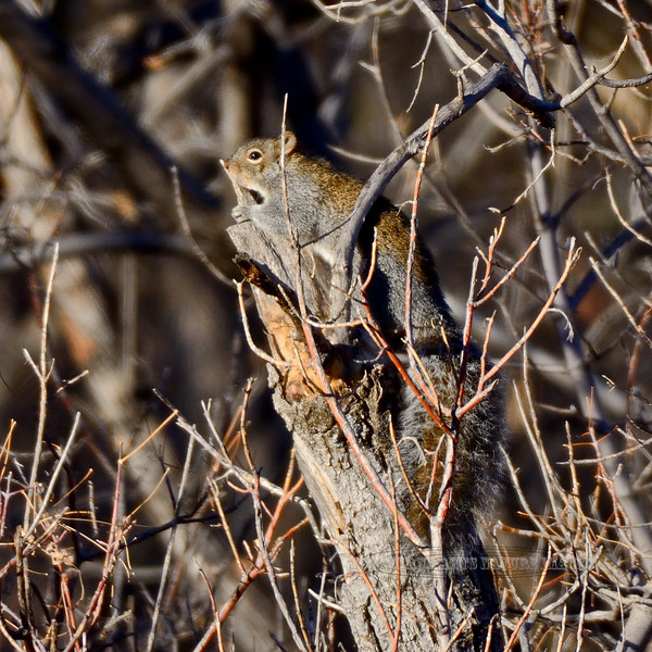 Squirrel, Arizona Gray 2017.11.18#020. Mingus Mountain, Yavapai County, Arizona.