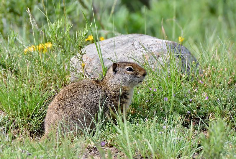 Squirrel, Ground, Columbian 2019.6.20#617. Lamar Valley, Yellowstone Wyoming.