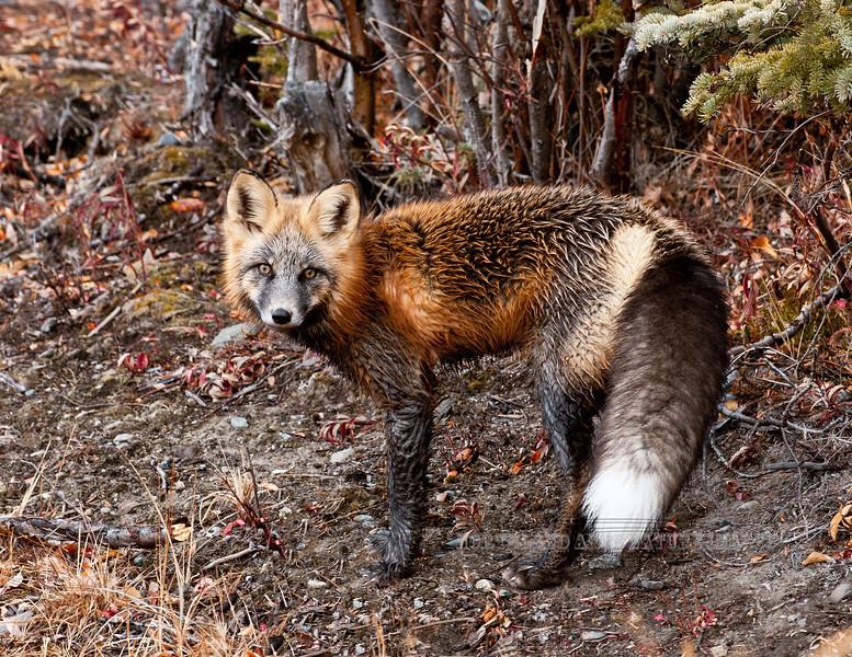 "Fox, Red 2011.10.4#030. A nice dark ""Cross phase"" Red Fox. Nelchina Basin Alaska."