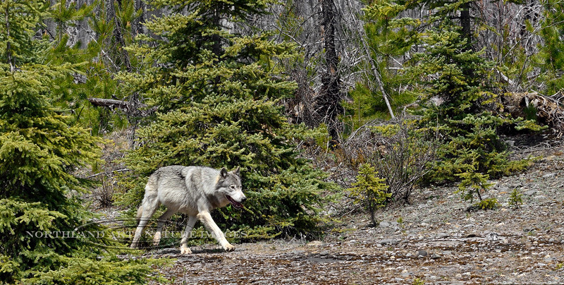 Wolf, Gray 2015.5.18#584. Near Vermillion Crossing, BC Canada.