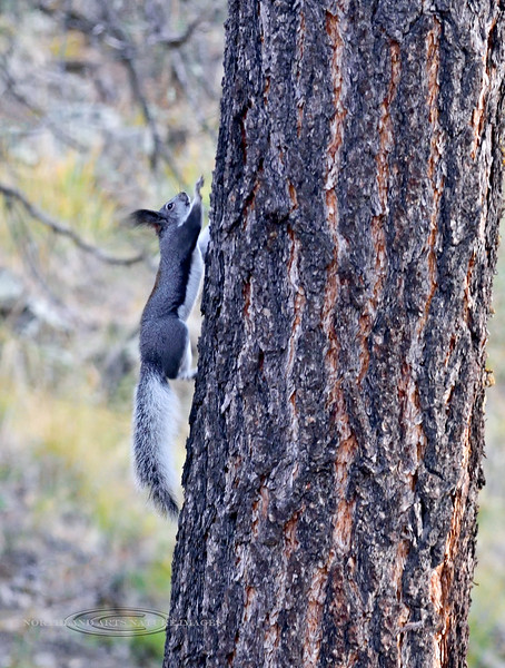 Squirrel, Abert's 2019.11.9#918. Gila Wilderness, New Mexico.