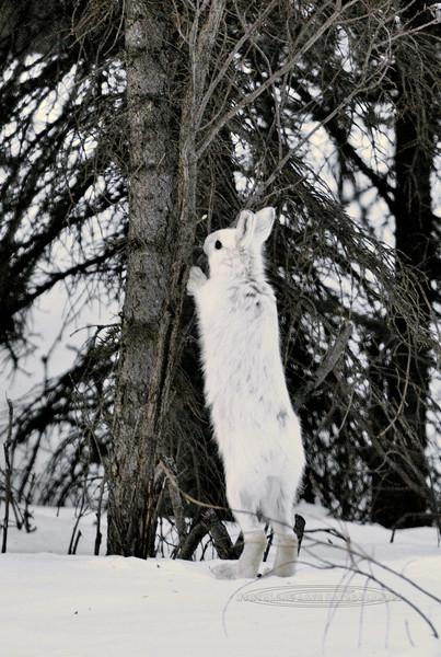 Hare, Snowshoe 2011.4.13#267. Mile 12.5, Denali Park Alaska.