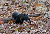 Squirrel, Eastern Gray 2019.10.25#5219.4. A black phase eastern gray. Penn's Wood's, Bucks County Pennsylvania. Photo by Guy J.