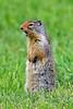 Squirrel, Ground, Columbian 2018.7.1#421. Lolo Pass Montana.