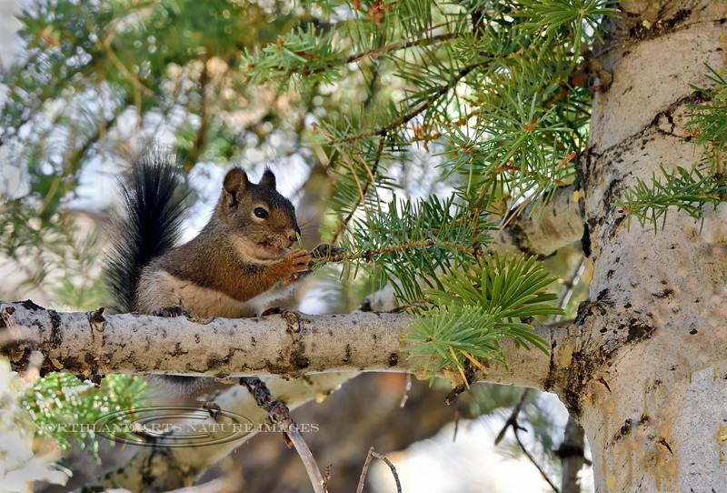 Squirrel, Arizona Red 2019.10.15#589.4. In a big White Fir tree on the North Rim of the Grand Canyon Arizona.