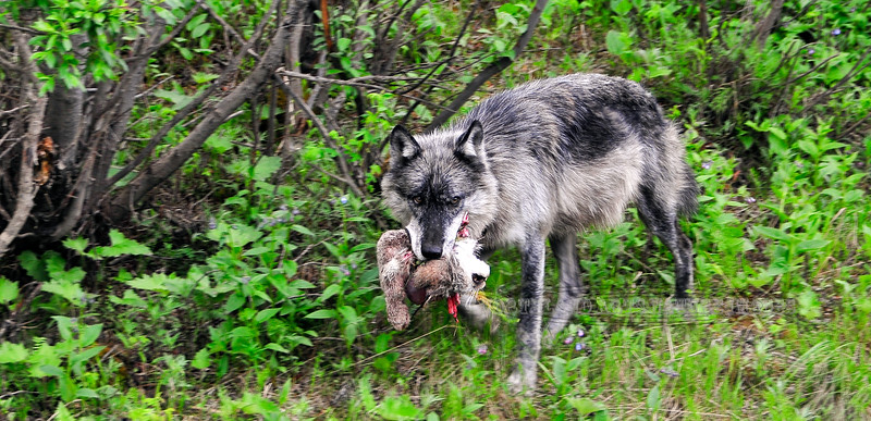 Wolf, Gray 2008.6.29#060. An unfortunate reality of life in the animal world. A Gray Wolf kills an adult Lynx protecting her two juveniles. Tattler Creek, Denali Park Alaska.