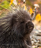 Porcupine 2008.9.13#034. A young Porcupine. Near Sourdough, Richardson highway Alaska.