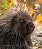 Porcupine 2008.9.13#034. A young Porcupine. Near Sourdough, Richardson highway Alaska.