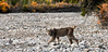 Lynx, Canadian 2009.9.10#078. Watches intently while moving past me. Mile 10, Denali Park Alaska.
