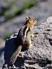 Squirrel, Golden-mantled Ground 2021.6.19.4646.2. Rim of Crater Lake Oregon