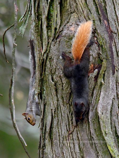 Squirrel, Eastern Grays 2016.5.5#140.4. Bucks County, Pennsylvania.