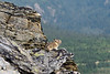 Pika, Collared 2013.6.29#035. In typical broken rocky habitat. Mount Healy,'s norteast side, Denali Park Alaska.