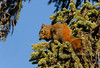 Squirrel, Red 2007.5.19#0102. Feeding on the fresh spring growth at the tips of the White Spruce branches. Teklanika River, Denali Park Alaska.