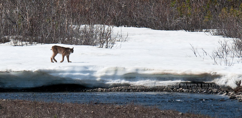 Lynx, Canadian 2011.5.28#058. This large male is searching for a suitable stream crossing. Teklanika River, Denali Park Alaska.