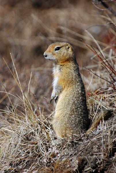 Squirrel, Ground, Arctic 2006.5.13#0482.. Savage Canyon, Denali Park Alaska.