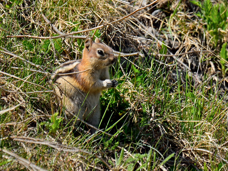 Squirrel, Golden Mantled Ground 2015.5.22#557. Near Cadomin Mine, Alberta Canada.