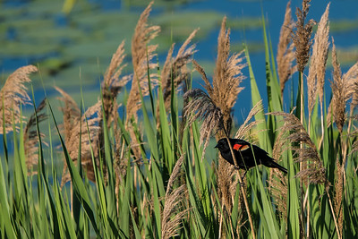Red-winged blackbird at Creve Coeur Lake