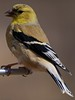 Goldfinch_Closeup