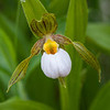 Small White Ladyslipper Orchid