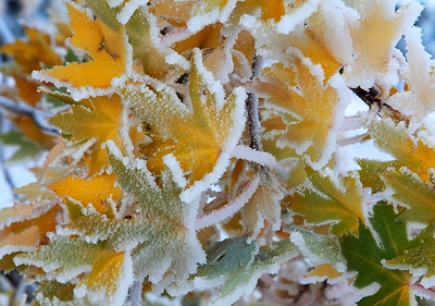 "(IMG-3944)  ""Frosted Flora 5"" - maple leaves, Colorado Springs."
