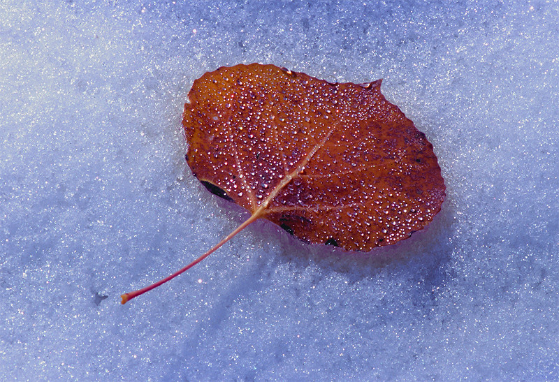 (J047)  Aspen leaf on snow - Uncompahgre National Forest.