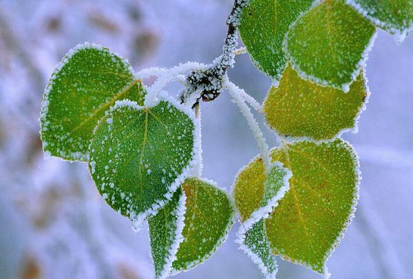 (I094) Snow on aspen leaves - Colorado