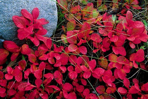 (B069) Alpine Bearberry - Alberta