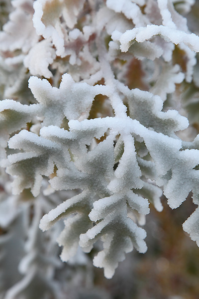 "(IMG-3905)  ""Frosted Flora 1"" - oak leaves, Colorado Springs."