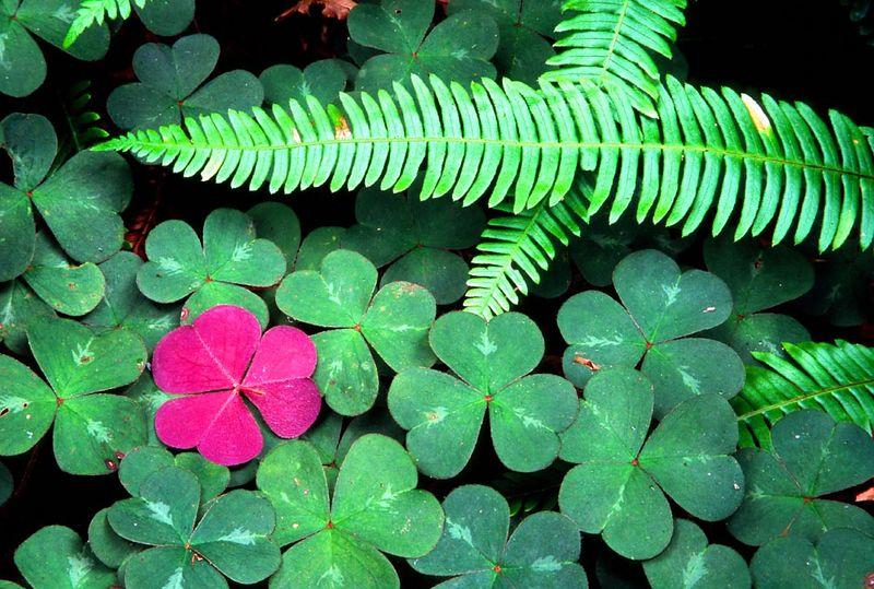 (WF-0409)  Fern and clover - Redwood Nat'l Park, California