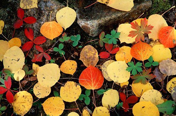 (E038) Aspen leaves - Colorado Rockies