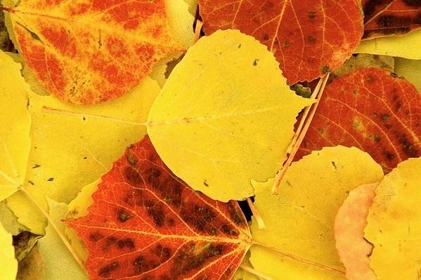 (E044) Aspen Leaves - Colorado Rockies