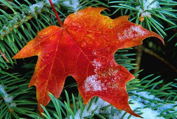 (I095) Maple Leaf on Spruce