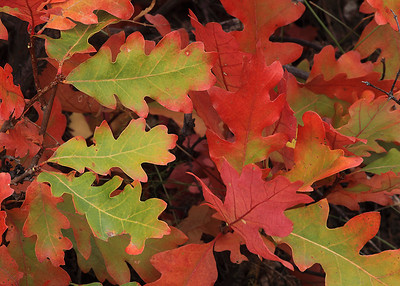(WC-09089)  Gamble oak leaves at their height of autumn color; West Elk Mountains, Colorado.