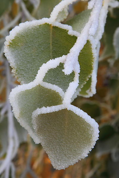 "(IMG-3925)  ""Frosted Flora 4"" - cottonwood leaves, Colorado Springs."
