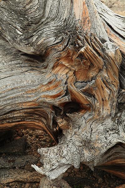 (FR-09054)  Bristlecone pine detail - Mount Evans, Colorado