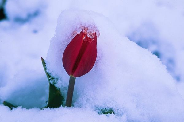 (A085) Tulip in the Snow