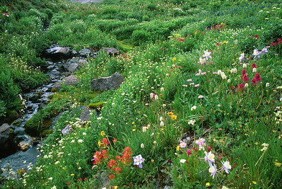 Wildflowers in Yankee Boy  (C013)