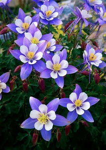 (C050) Blue Columbine in the Colorado Rockies