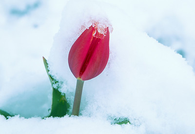 Tulip in Snow  (A085)