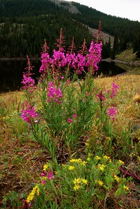 (C049) Fireweed - Colorado Rockies