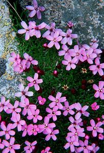 (E013) Moss Pink - Colorado tundra