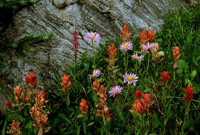 (G077) Indian paintbrush & Showy daisy - Colorado Rockies