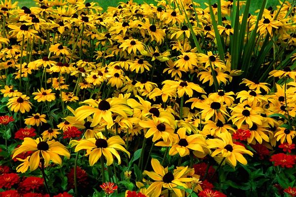 (I093) Blackeyed Susans